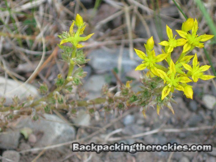 wild yellow plant - Google Search