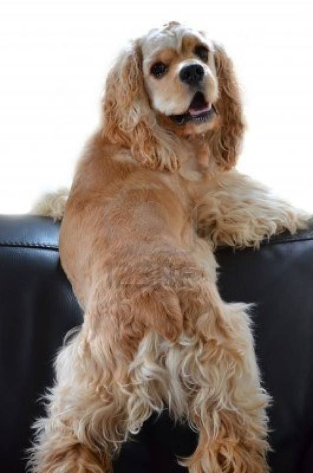 100 best images about Pets on Pinterest | Tallest dog ... Cocker Spaniel 60 Days Pregnant