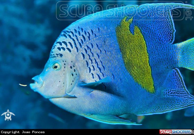 Arabian Angelfish  in Sharm el Sheikh - Egypt - Red Sea