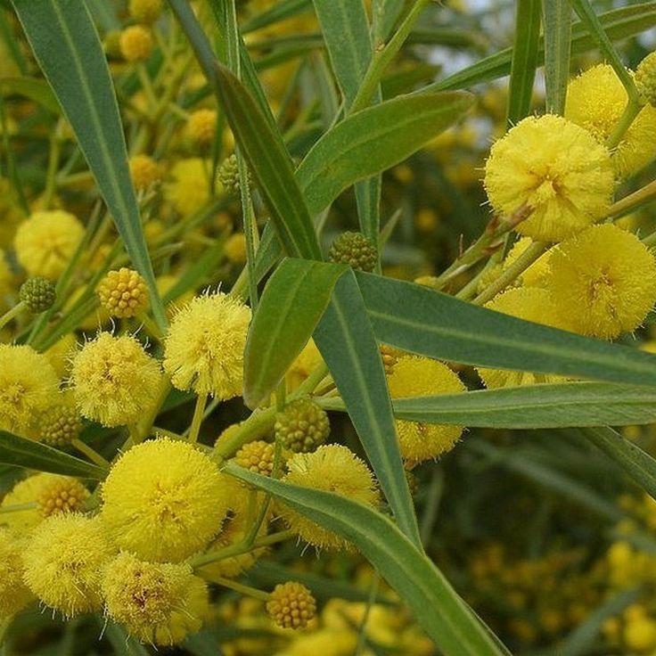 Le Mimosa des 4 saisons est une variété qui tolère le calcaire