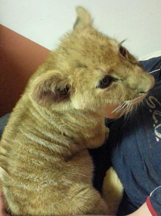 The lion is 3 months old, sooooo cute