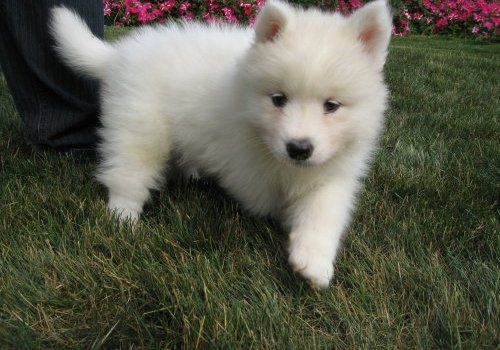 samoyed puppy - soooooo adorable! can i have?