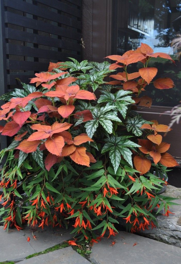 Contained Exuberance - Hyland Garden DesignMade for the shade. A winning combination of 3 plants–Solenostemon (coleus) 'Sedona' + Begonia 'Benitochiba' + Begonia boliviensis 'Bonfire'
