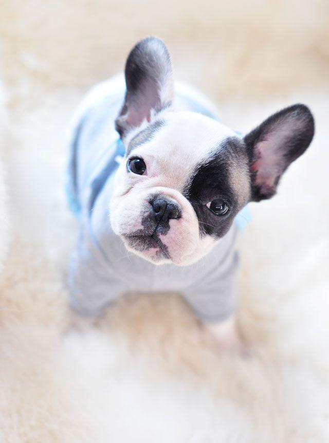 tiny french bulldog in a tiny t-shirt