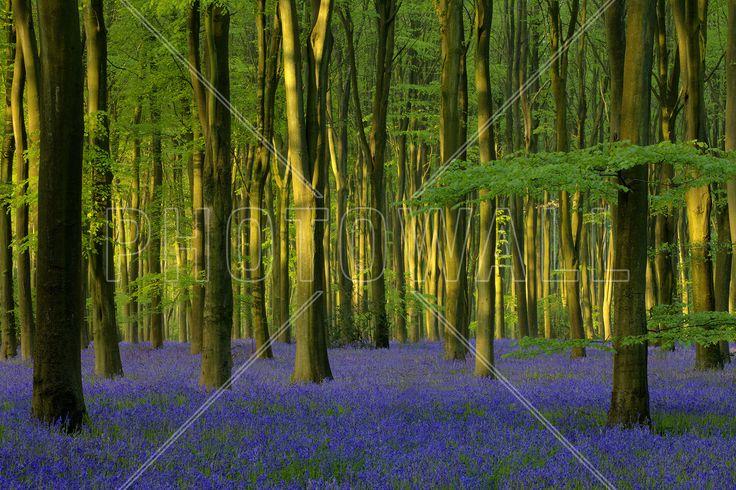Bluebells in Sunlight - Wall Mural & Photo Wallpaper - Photowall