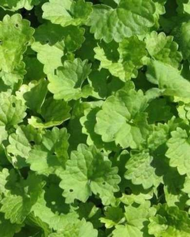 Ground Ivy - Ground Covers - 7 Popular Varieties to Enhance Any Yard - Bob Vila