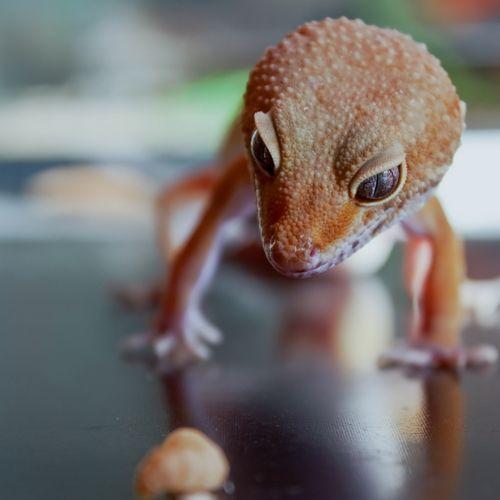 swingtime gustavsburg vibrator gecko