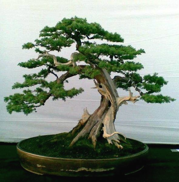 bonsai tree tattoo | Pin Pictures Magazine Bonsai Tree Tattoo on Pinterest
