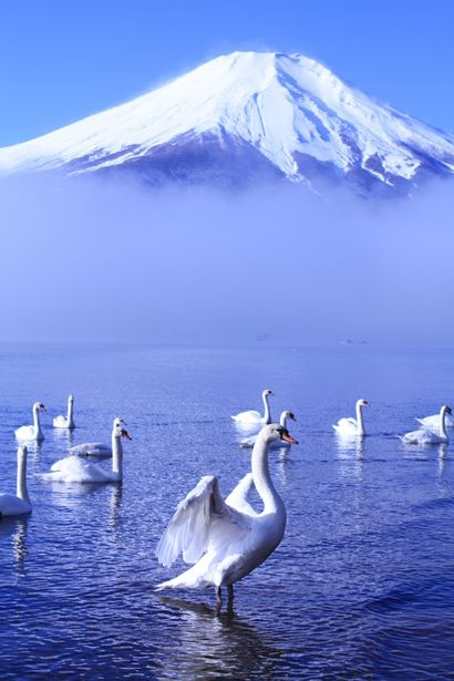 Swan at Lake Yamanaka with Mount Fuji, Yamanashi, Japan