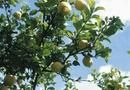 How to Take Care of a Lemon Tree in the Winter | Home Guides | SF Gate