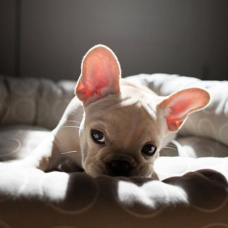 French Bulldogs – How to Nurture and Train Them