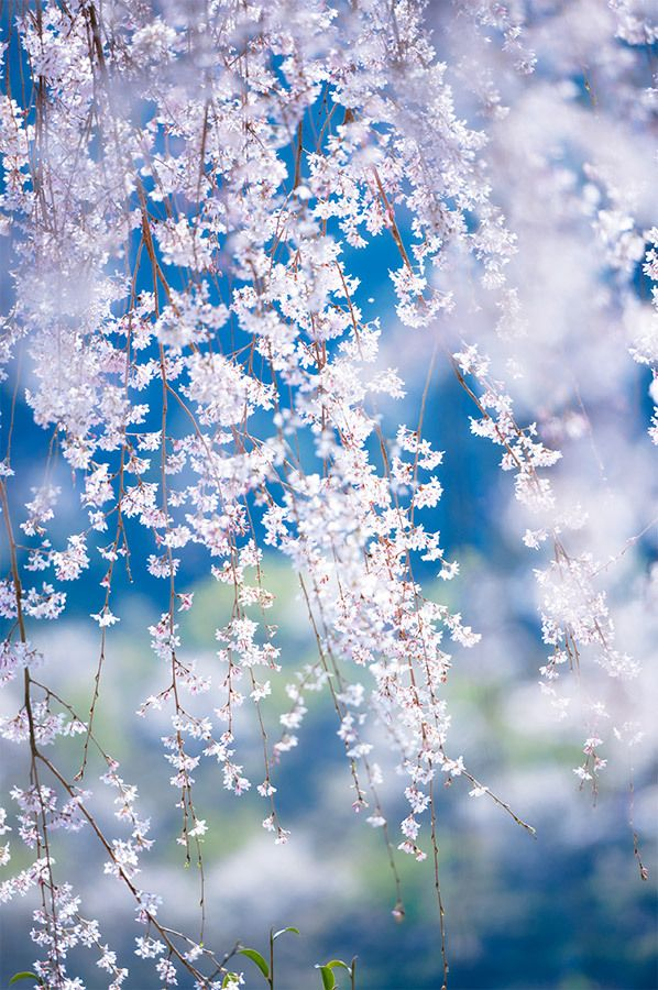 Weeping Cherry Blossom Flowers Photography Nature Photography Landscape Photography