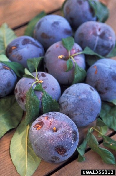 Plum Tree Diseases: Indentifying Common Plum Diseases - Problems with plum trees are many, and plum tree diseases may slow or stop production of the fruit crop. Find out the most common of these diseases in this article so you can treat them effectively if necessary.