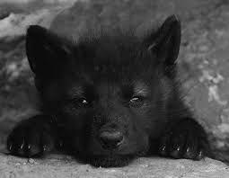 Image result for black wolves