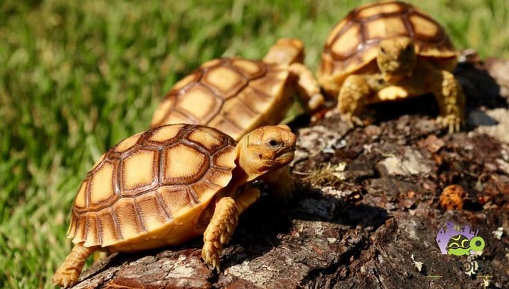 Well started baby sulcata tortoise for sale. We offer african spur thighed tortoise for sale, sulcata tortoise hatchlings for sale & spur thigh baby tortoise for sale.