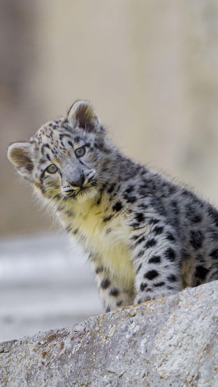 best 25 leopard wallpaper ideas on pinterest leopard