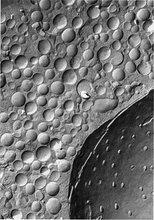 Adrenal medulla chromaffin cell