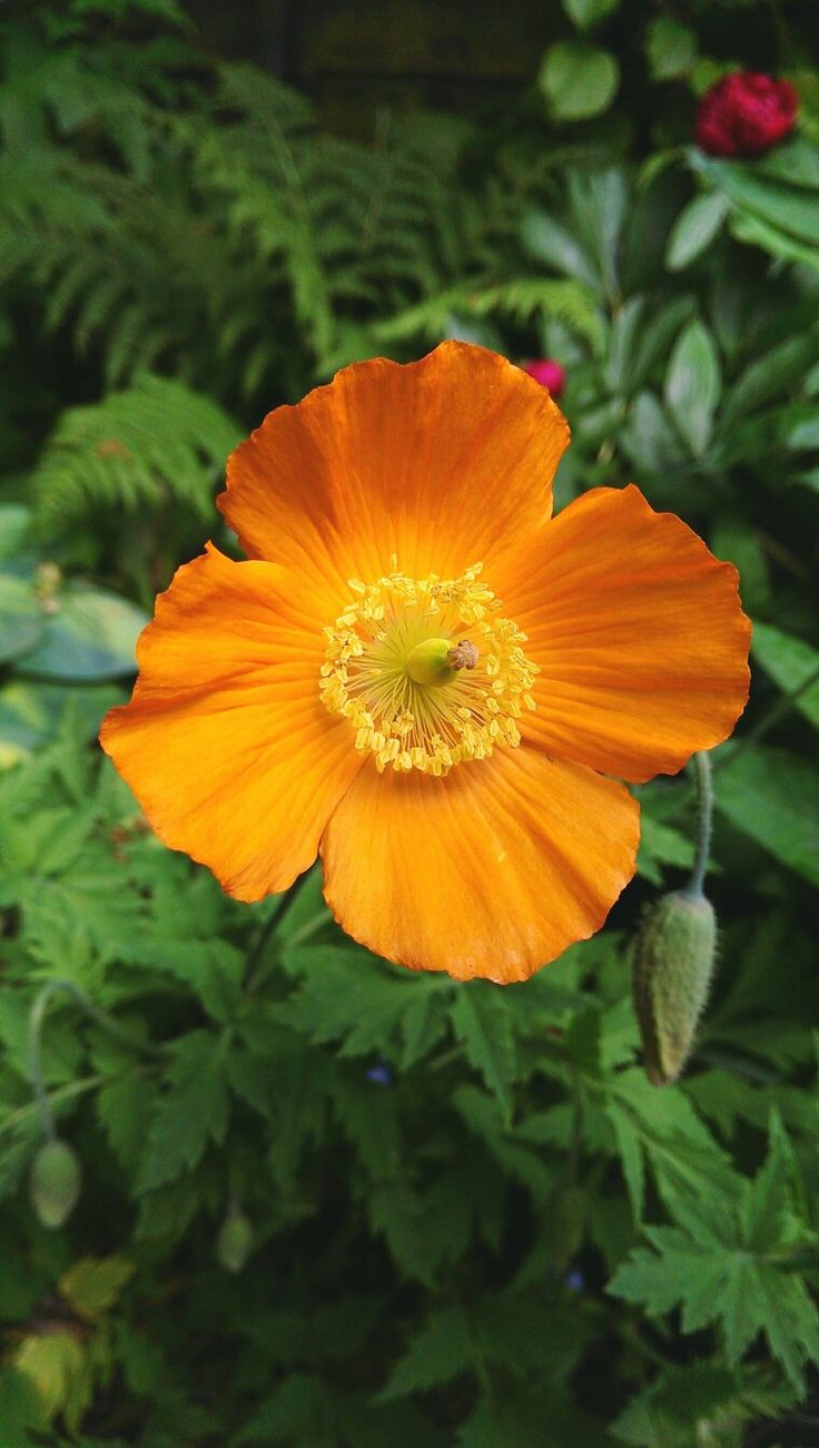 Welsh Poppy 2017