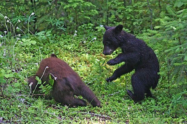 Black Bear cubs play fighting