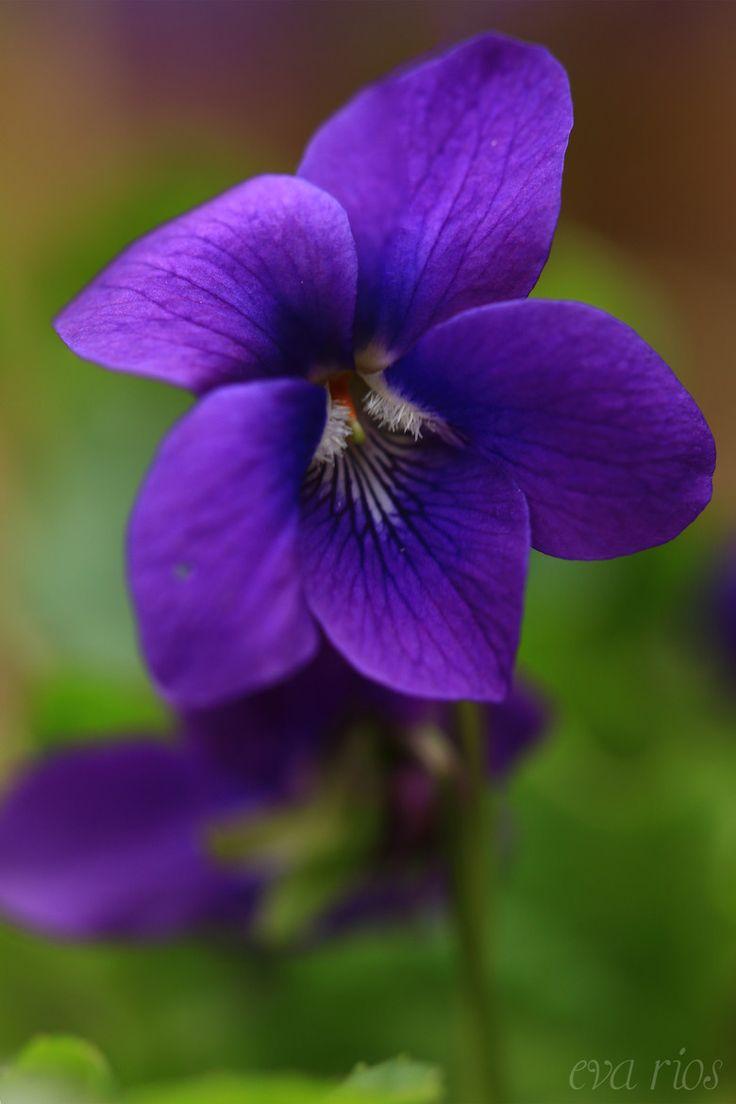 Violets ~ by Eva Rios Ortega*