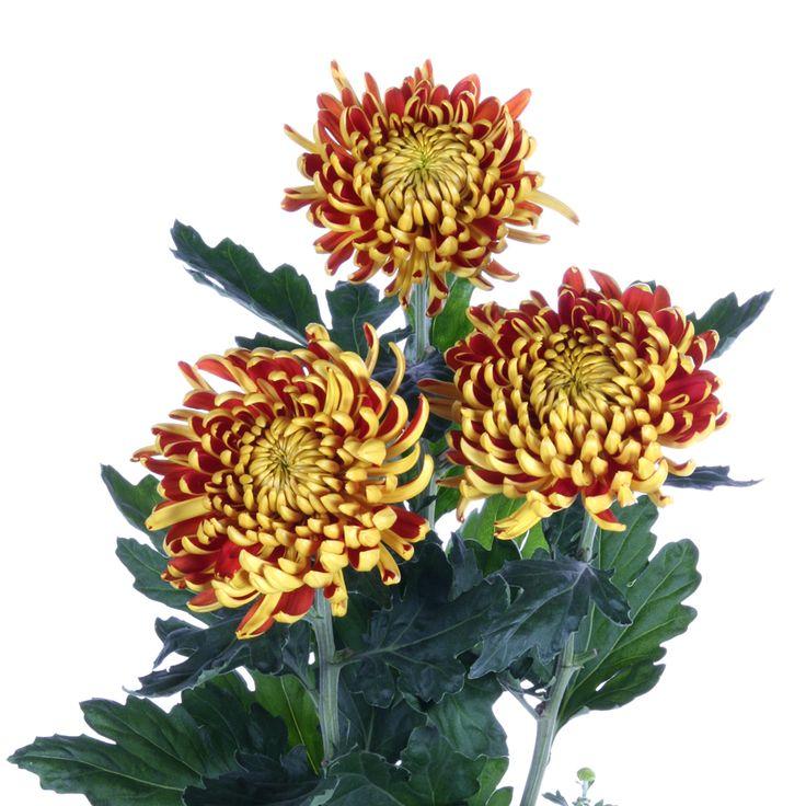 Chrysanthemum Indicum Grp geplozen kas 'Fuego'