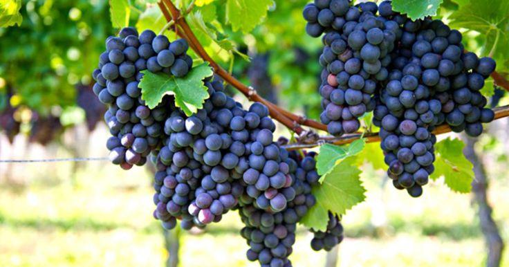 Conheça 5 fatos importantes sobre a peculiar e saborosa uva Carménère.