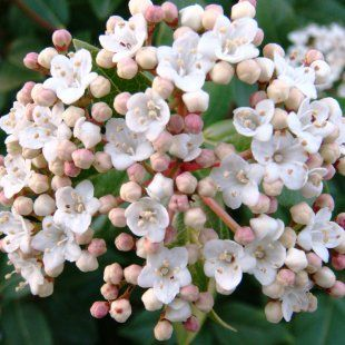 Viburnum Tinus Eve Price, a wonderful winter flowering hedging plant, produces masses of white flowers from pink buds from December through to spring against dark green glossy foliage. A lovely evergreen hedging plant with blue-black fruits.