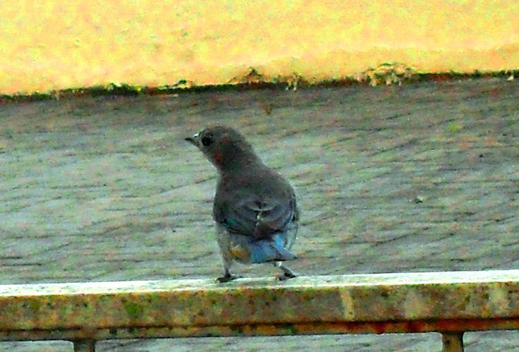 """Pássaros que vivem em Curitiba """"Sanhaço-Azul"""""""