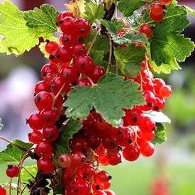 Röda vinbär RÖDA HOLLÄNDSKA('Holländische rote')