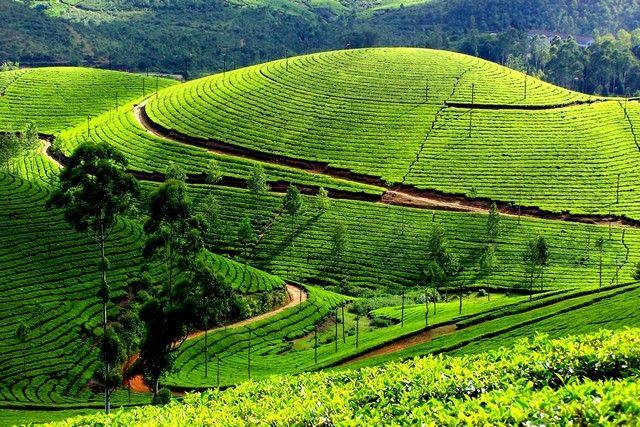 Munnar-Tea Gardens