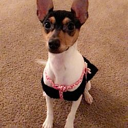 Olivet, Michigan - Rat Terrier. Meet Zoee, a for adoption. https://www.adoptapet.com/pet/20919932-olivet-michigan-rat-terrier