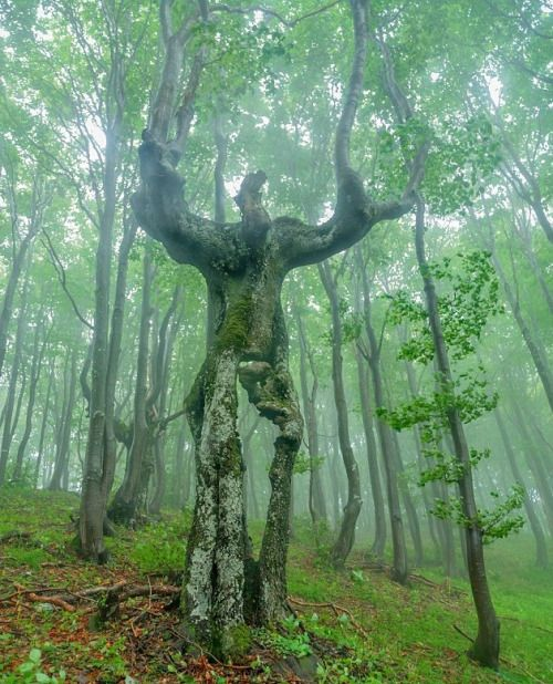 26 best zajmavosti images on pinterest animal paintings 65ft tall anthropomorphic tree found in the heart of the balkan mountains in bulgaria photo the forestmagical sciox Image collections