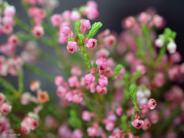 Erica baccans (Berry heath), (c) Florescence