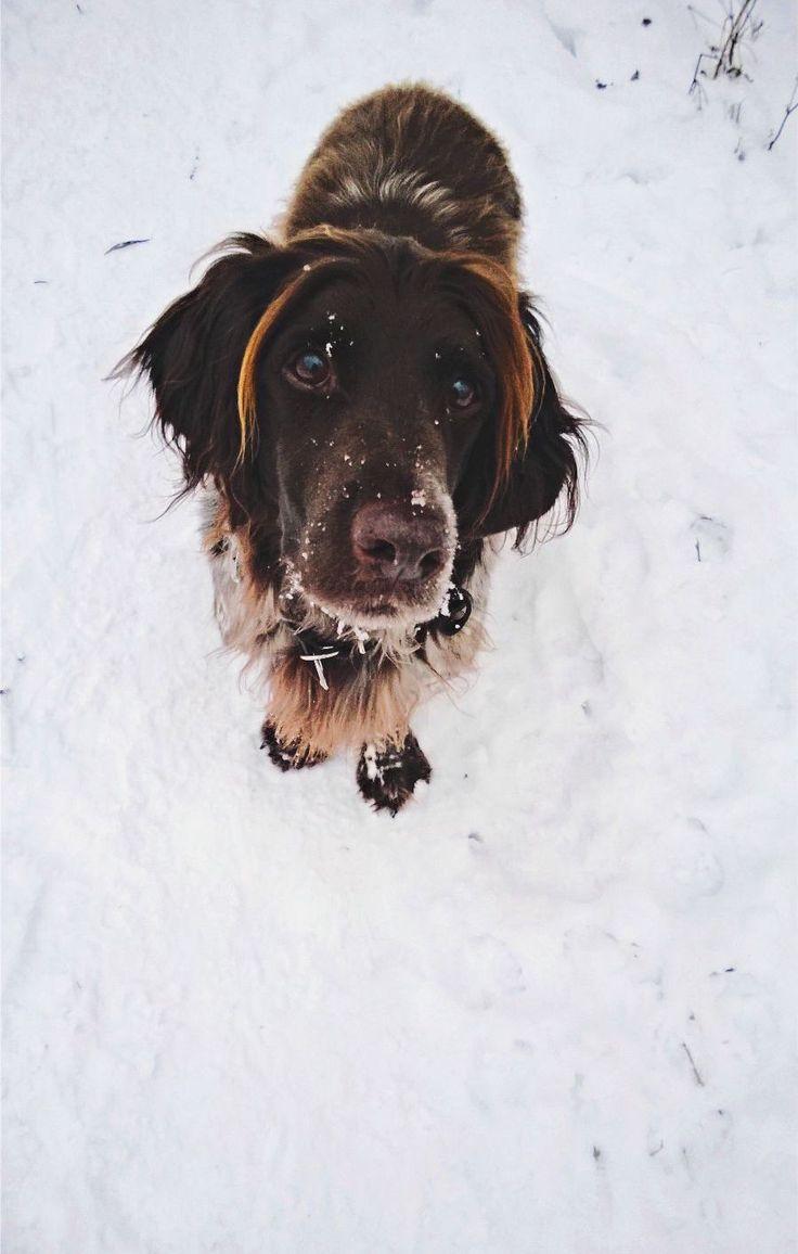 Timo, kleiner Münsterländer. #dog #münsterländer