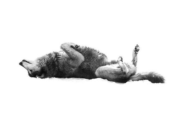 Wolf Photo  Grey Wolf Laying on Back  8x10 Black by StephsShoes, $20.00