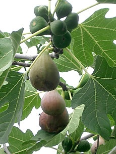 108 Best Images About Figs Figs Figs On Pinterest