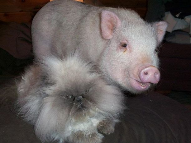 Happy pig, angry cat
