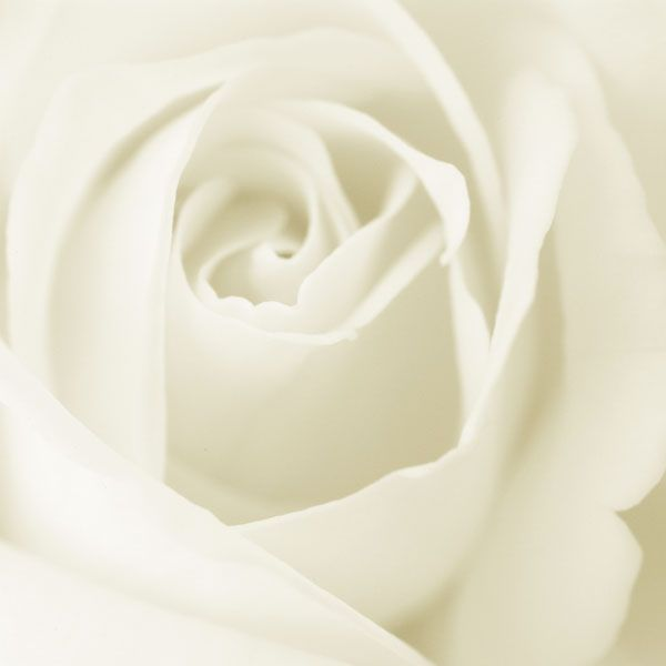 Rose: Daily Dose, White Flowers, White Rose, Colors Psychology, Pure White, Rose White, Flowers Rose, White Picket Fence, White Gowns