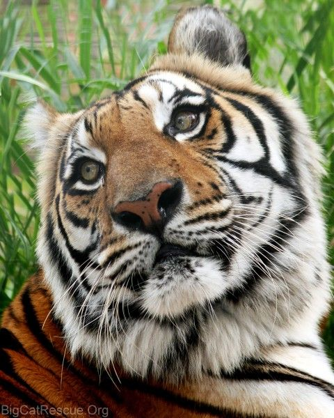 Big Cat Rescue is the largest accredited sanctuary in the country dedicated entirely to abused and abandoned big cats. Big Cat Rescue is rated 4 Stars by Charity Navigator (their highest rating) and has the highest score of any animal based charity.