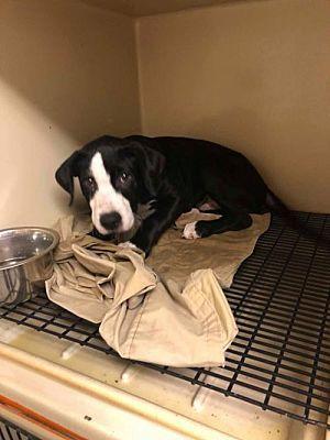 New York Ny Labrador Retriever Meet Duke A Dog For Adoption Labradorretriever Labrador Retriever Dog Adoption Most Beautiful Dog Breeds