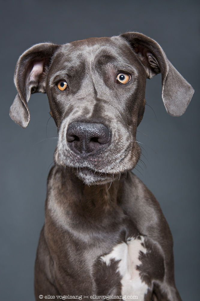 Mmpf face by Elke Vogelsang on 500px,  great dane