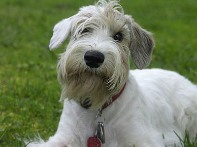 "Sealyham Terrier - two of these star in ""Hitchcock"" - Alfred Hitchcock had them but they're now very nearly extinct :("