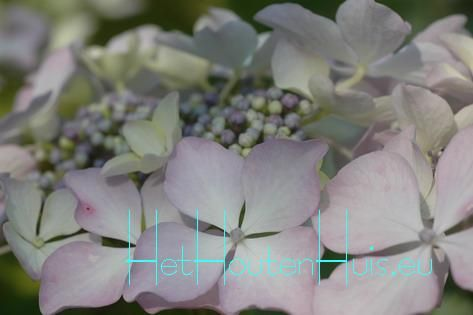 macr. beaute vendomoise Het Houten Huis- Hortensia bloeit met heel grote zachtroze schermen op zure grond zijn deze lichtblauw ook de afzonderlijke randbloemen zijn opvallend groot gewonnen door Emile Mouillere uit Frankrijk   lichtroze of lichtblauw    juni-september 140 cm.    zon-halfschaduw planten per m2
