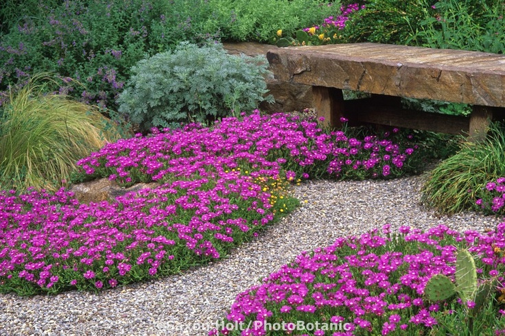 Chanticleer drought tolerant garden using gravel path with pink flowering hardy succulent groundcover by stone bench, iceplant (Delosperma cooperi). Pennsylvania.