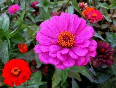 9000 Seeds 100 grams Zinnia elegans Rocky Mountain by seedsshop