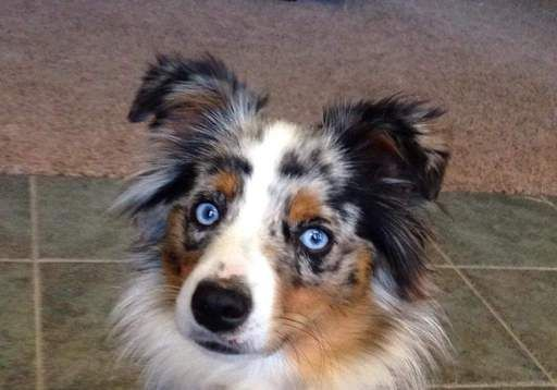 Miniature Australian Shepherd puppy for sale in MC LEAN, IL. ADN-26708 on PuppyFinder.com Gender: Female. Age: On the way