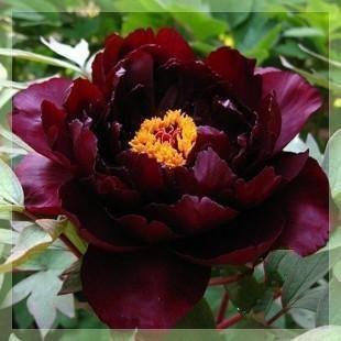 For my Goth Garden: 20 Seed, Flower Lights, Black Flower, Peony Seeds, Flower Seeds, Garden Plants
