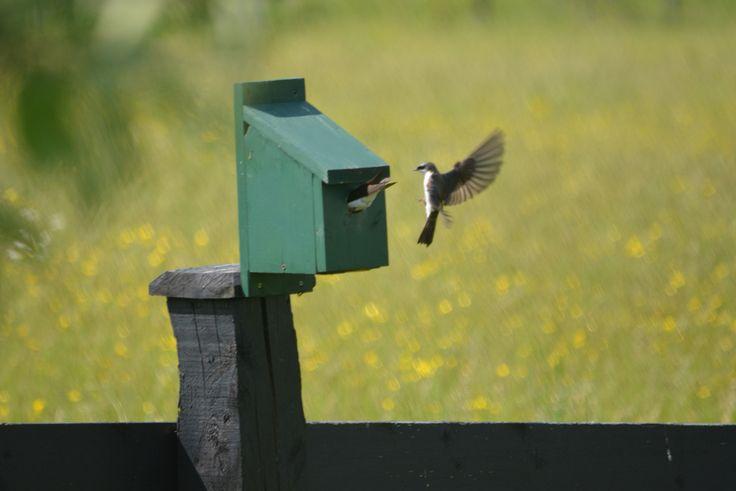 Tree swallow feeding time