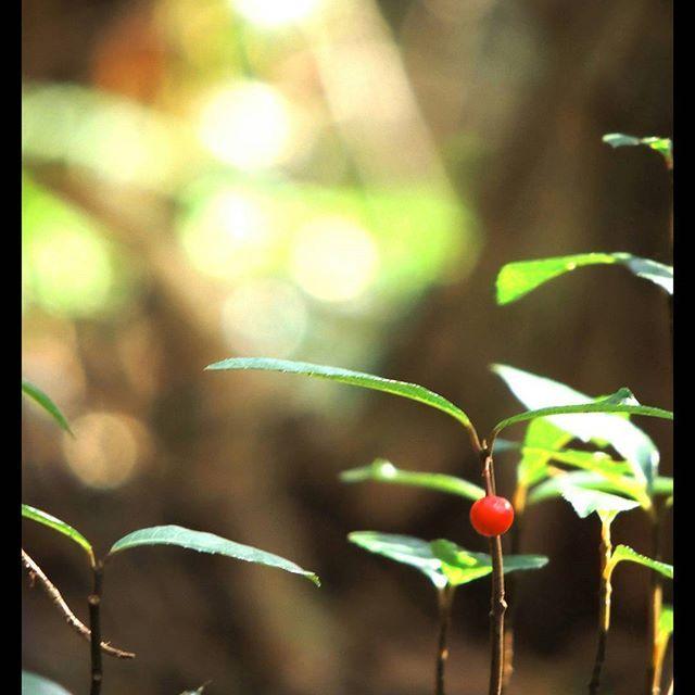 【ityken】さんのInstagramをピンしています。 《何だかよく分からないけど、この赤い実はたくさん見かけたな。 緑と茶色ばかりの森に彩りを与えてくれます。  #福岡#筑紫野市#大根地山#登山#山登り#森#赤い実#福岡写真部 #写真好きな人と繋がりたい #写真撮ってる人と繋がりたい #コンデジ#コンデジら部 #Nikon#P510》