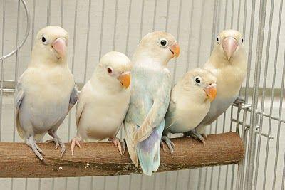 Watta Bird!: Fischer LoveBirds